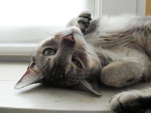 El gato macho en celo suele restregarse contra cosas y personas | Foto: designdivala.deviantart.com