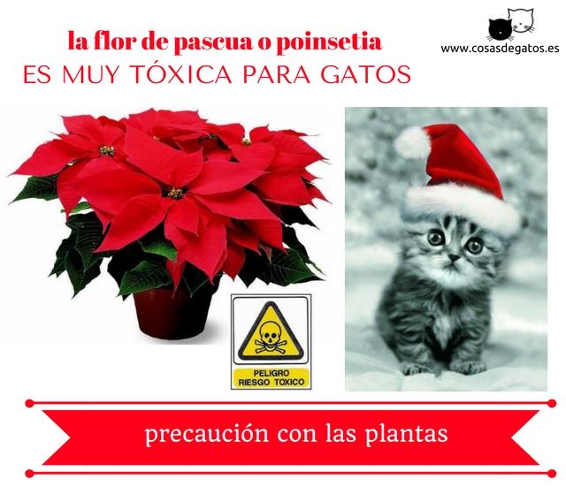 La flor de pascua o flor de navidad es t xica para los gatos cosas de gatos - Cuidados planta navidad ...