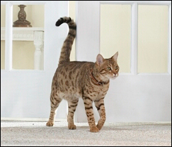 When Do Cats Swish Their Tails
