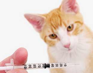 Vacunas Gatos Calendario.Vacunas Gatos Calendario Vacunacion Cada Cuanto Vacunarlo