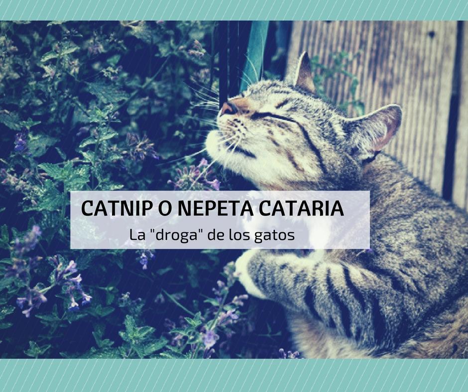 droga para dormir gatos