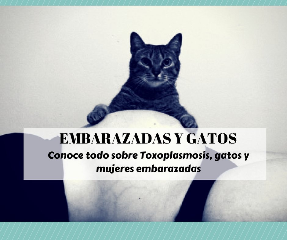 7529dddb2 embarazadas gatos toxoplasmosis