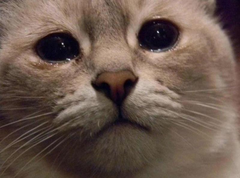 Por Qué Los Gatos Lloran Con Lágrimas Reales Cosas De Gatos