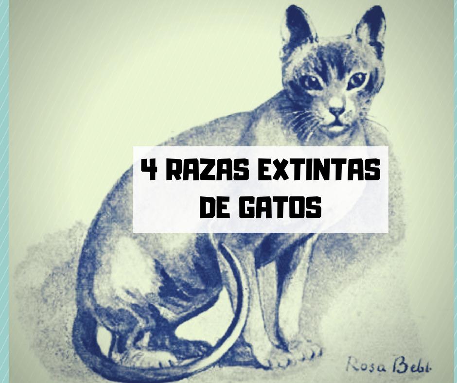 Razas de gato extintas   Cosas de Gatos